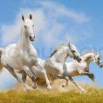 4431177-white-horses